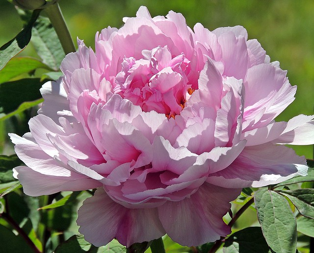 the first peony