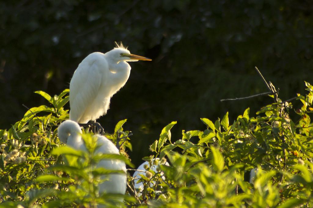 Egretta thula, Cypress Wetlands, Port Royal, SC