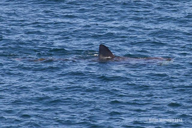 Basking Shark  - First One