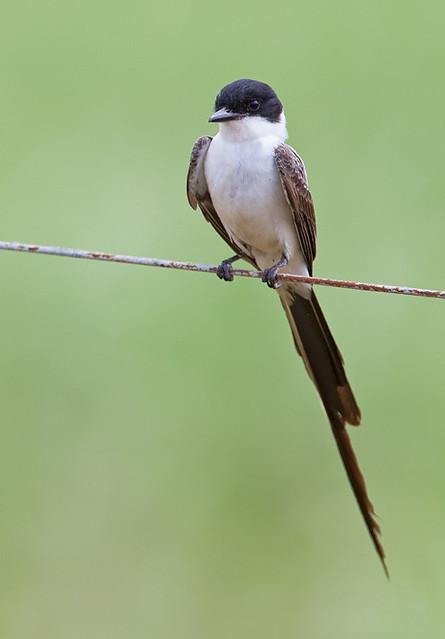 Fork-tailed Flycatcher / Vorkstaartkoningstiran