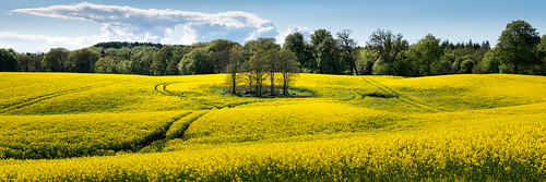 flowers trees yellow outdoors spring farming wide fields agriculture canola rapeseed 2015 häckeberga
