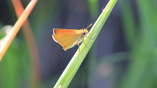 (Hylephila phyleus)