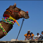 Camel.   Pushkar