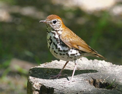 bird nature canon birdwatcher woodthrush backyardbirding naturewatcher connecticutbird newenglandbird