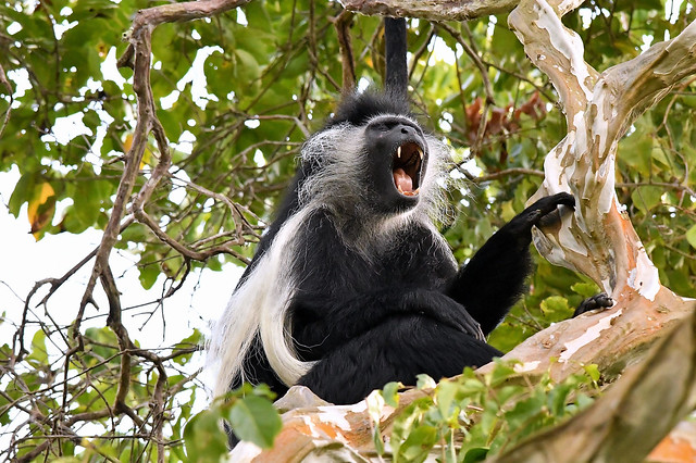 Call of a Black and White Colobus Monkey - high in the treetop canopy.