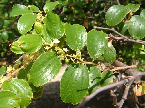 easttimor rhamnaceae timorleste ziziphus ziziphusmauritiana