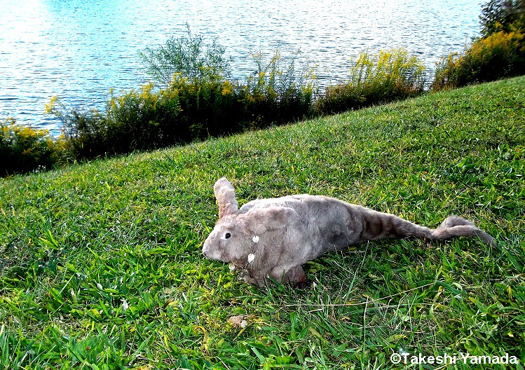 Seara Sea Rabbit By The Beaver Pond During The Expeditio