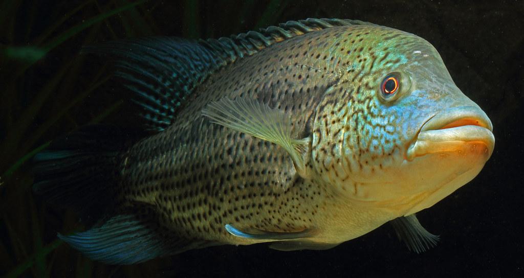 Parachromis Dovii Wolf Cichlid Aptly Named Size For Siz Flickr