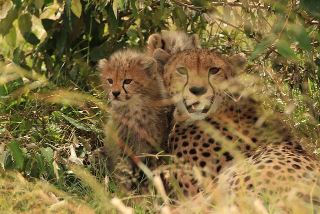 Malaika and her cubs. - Malaika, a female Cheetah, and her cubs. Maasai Mara, Kenya, 2012