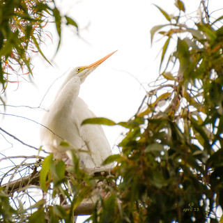 Great Egret  (7 April 2013)