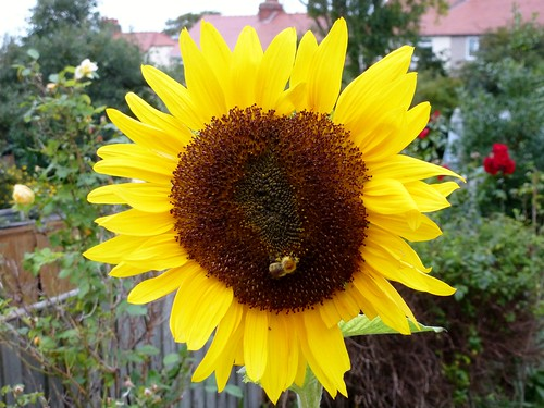 Sunflower and Bee (20/09/2013)