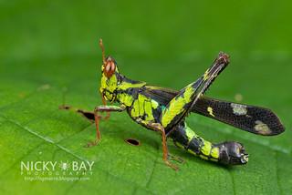 Monkey Grasshopper (Erianthus versicolor) - DSC_5223 | by nickybay