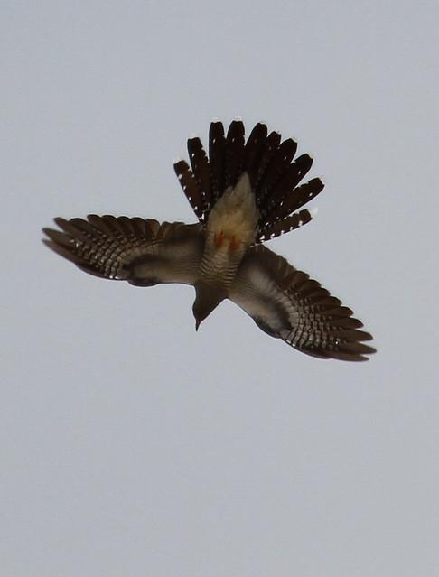 Cuckoo in flight
