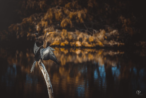 snakebird bird water turkey anhinga florida wetland day bokeh reflection wild nature weather canon sunset light outdoors canont5 t5