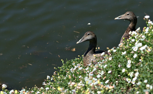 Eider (Somateria mollissima) | by jonnobird (Catching up after Cyprus)