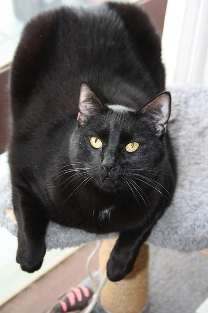 Hellooooo From The Cat Tree ~ Blacky...
