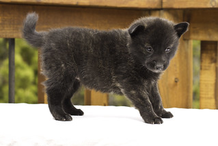 Ayui-Litter4-Day30-Puppy3-Female-d | by brada1878