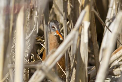 ontario birds canon manitoulinisland virginiarail