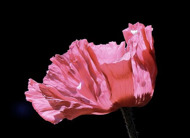 Amazing poppy