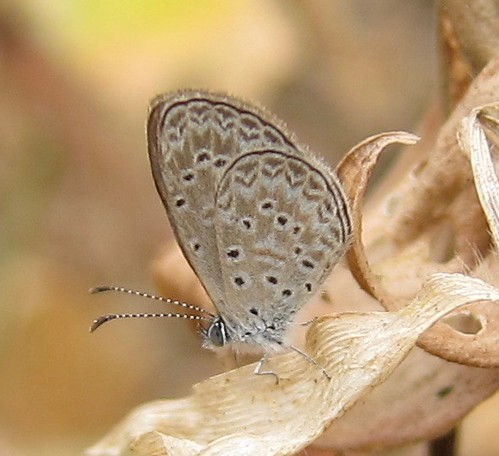 butterfly ecuador jorupe loja lycaenidae polyommatinae richhoyer urracalodge