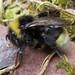 Bombus bohemicus (Bohemian or Gypsy Cuckoo-bee)