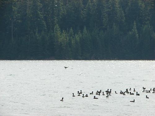 Osprey flying over ducks on Timothy Lake