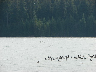 Osprey flying over ducks on Timothy Lake