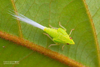 Planthopper nymph (Tropiduchidae) - DSC_9215