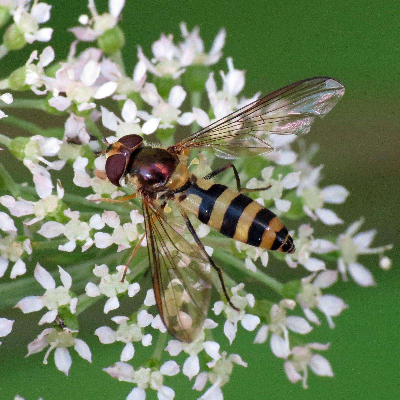 Hoverfly - Meliscaeva cinctella
