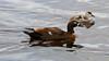 Female Australian Shelduck and duckling, Tadorna tadornoides, Bibra Lake, Perth, Western Australia by BioGeo2009
