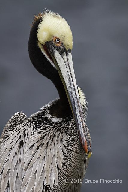 Brown Pelican Breeding Plumage Portrait