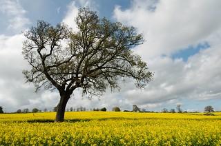 yellow field, green tree