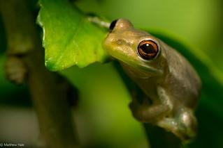 Red-eye: Cuban (?) Treefrog