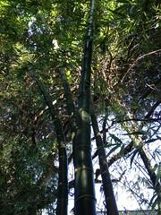 Wamin Bamboo