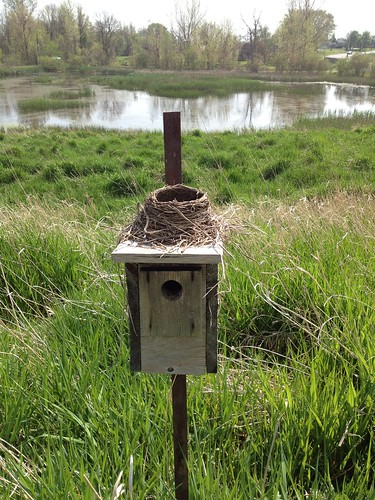American Robin nest on Tree Swallow nest box | by Liza Barney
