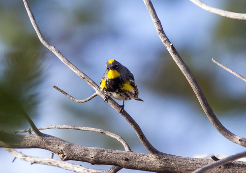 Male Yellow-rumped warbler at Yellowstone IMG_4373 | by grebberg