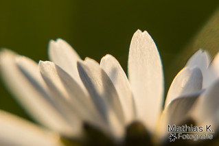Blütenblatt