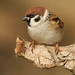 Eurasian Tree Sparrow - Photo (c) Ján Svetlík, some rights reserved (CC BY-NC-SA)