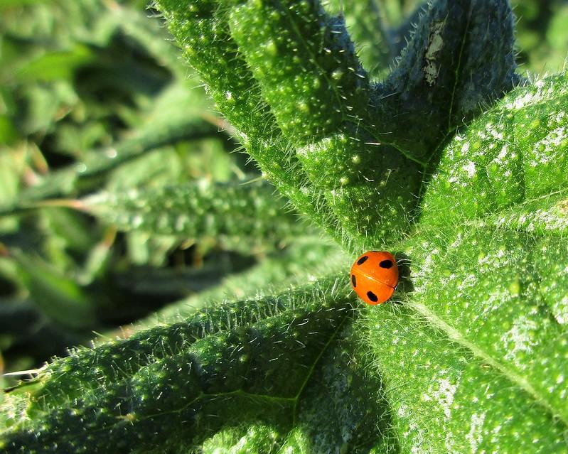 A sunbathing Ladybird