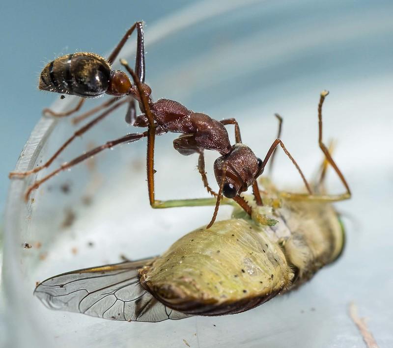 Adaptalux Ant.