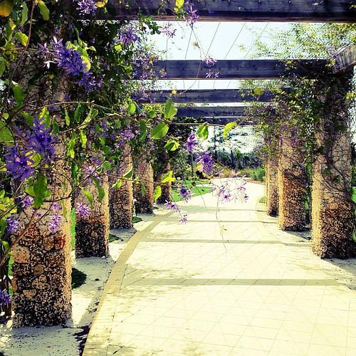 Queen's wreath. Naples Botanical Garden. #flowers #purple #instagram #ilovenature #queenswreath | by WePhotographer