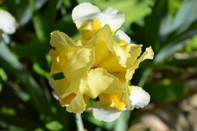 Anomalies chez les iris barbus - pélorisme et chimères 8844717553_1ef2230468_z