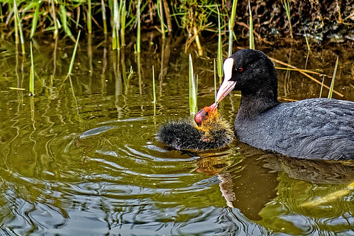 Coot's Kiss