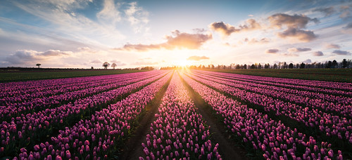 flowers light red panorama sun church field lines yellow star golden glow tulips pano wide perspective band line tulip rays burst distance beams goldenhour redflowers purpleflowers leadinglines