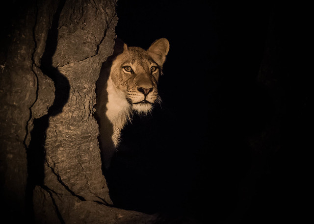 Young lioness caught in the spotlight