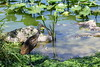 Limpkin (Aramus guarauna) by Gerald (Wayne) Prout
