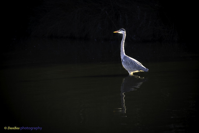 Ardea Cinerea against sun