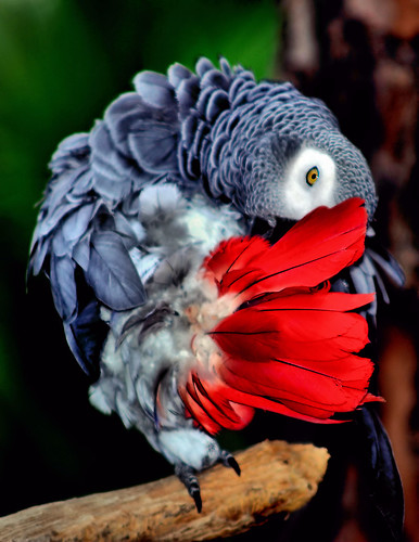 birds florida africangreyparrot parrots panamacitybeach zoos africangrayparrot zooworld specanimal nikond3100 prinz350mmlens zooworldpanamacitybeachflorida