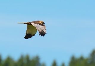 Brun Kärrhök / Western Marsh Harrier | by Stefan Berndtsson