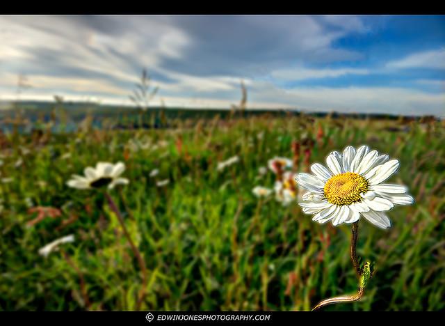 Downland Daisies Halnaker